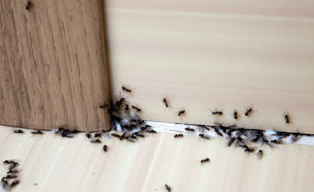 black ants in the house