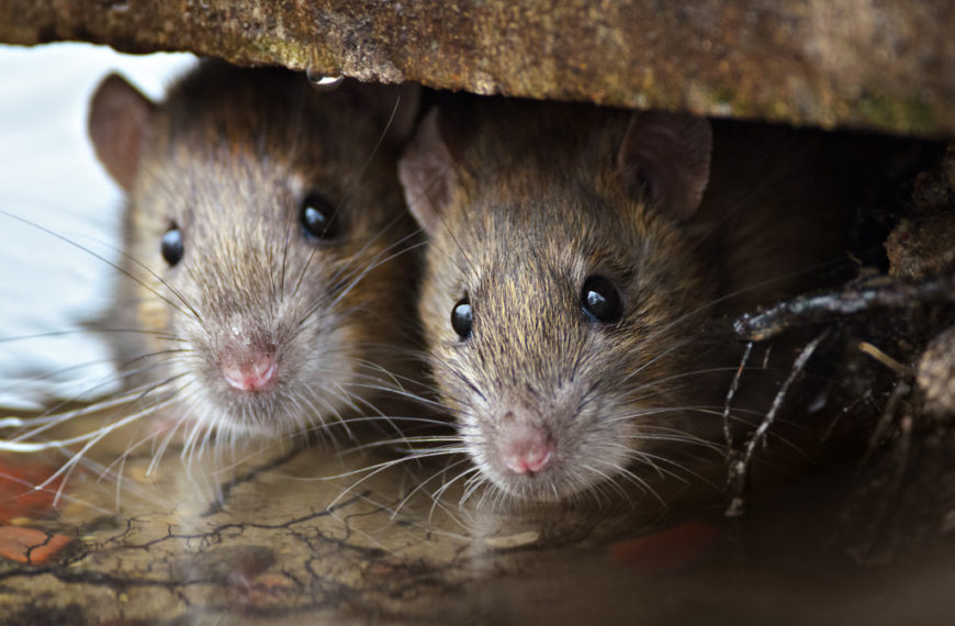 Protect Your Home and Health: Why You Shouldn't Ignore Rodent Damage